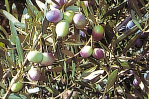 aceituna-lechin