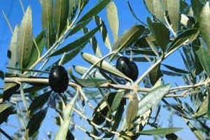 aceituna-manzanilla