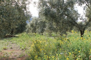 landscape olive trees organic growing